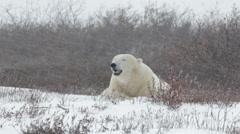 Polar bear lying in the storm - stock footage