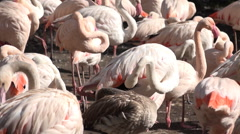 White flamingos horde very close up Stock Footage