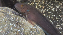 A small fish among the rocks on the seabed. - stock footage