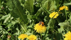 Bumblebee on yellow dandelions on a green meadow under the summer sunlight Stock Footage