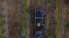 Aerial Wine Pickng Tractor Harvest Stock Footage