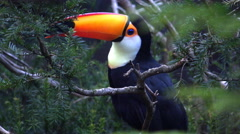 4k Toco Toucan bird between tree branches and leafes Stock Footage