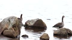 ICELAND, Hafnarfjordur, geese by Hvaleyrarvatn. Stock Footage