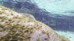 An aggregation of moss-covered manatees glides smoothly on a spring bottom Stock Footage