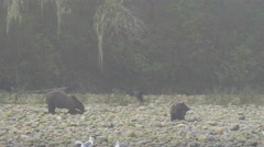 Grizzlies in the morning mist on a riverbank Stock Footage