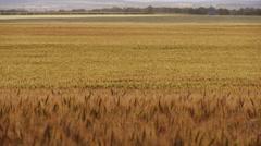 Golden Wheat Field WS Stock Footage