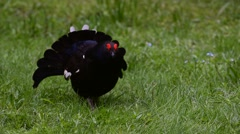 Black grouse male displaying making mating call Stock Footage