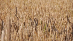Golden Wheat Field MS Stock Footage