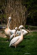 Pelican in Prague ZOO Stock Photos