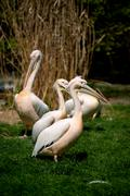 pelican in Prague ZOO - stock photo
