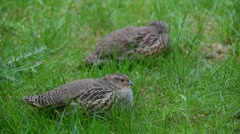 Grey partridge (Perdix perdix) couple resting in grassland - stock footage