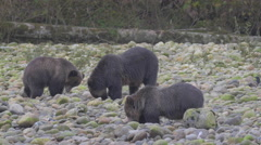 Grizzlies feeding from holes they've dug on a riverbank Stock Footage