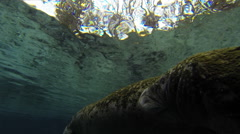 Algae covered mother and baby manatees vocalizing. Stock Footage