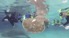 Divers check out and stroke manatees Stock Footage