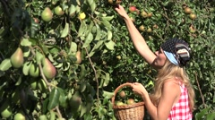 Woman gather juicy pear fruit in basket at warm summer day. 4K Stock Footage
