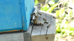 Honey bees at the entrance in beehive - stock footage