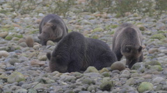 Grizzlies on a riverbank foraging, shaking,  and scratching Stock Footage