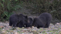 Family of Grizzlies drinking and digging Stock Footage