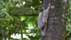 Tropical Nature Wildlife Animal Mother Baby - Colugo on Tree Stock Footage