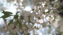 White Spring Flowers in the Sun 4K Stock Footage
