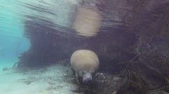 Full frontal shot of a massive, sleek manatee Stock Footage