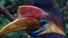 Knobbed Hornbill bird very close up portrait Stock Footage