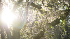 Rack focus, Cherry Tree with lens flare Stock Footage