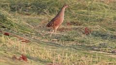 Bird on the meadow. Stock Footage
