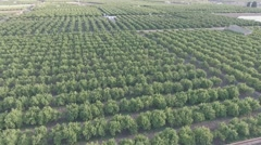 Aerial view of orange tree field in flat color Stock Footage