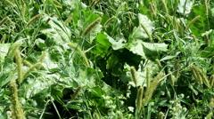 Weeds in sugar beet field Stock Footage