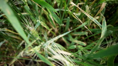Leaf rust on a cereal plants - stock footage