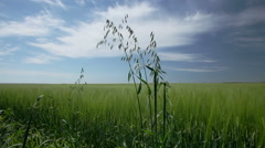 Weeds in a field of cereal plants - stock footage