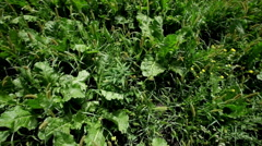Weeds in sugar beet field Stock Footage