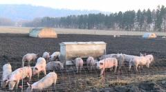 Pigs outdoors  - Cochons en plein air Stock Footage