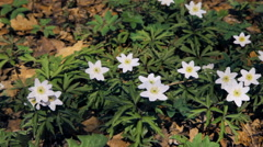 White snowdrops flowers sway in the wind Stock Footage