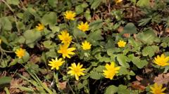 Marigold flower Stock Footage