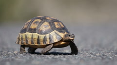 Angulate tortoise (Chersina angulata) crossing the road in West Coast National p Stock Footage