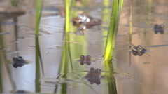 Forest pond with moor frogs Stock Footage