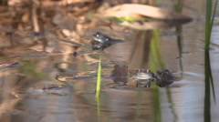 Blue frogs in action Stock Footage