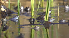Blue Moor Frogs Mating in the small pond 4K, UHD Stock Footage