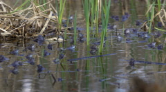 Frogs Mating Season Spring in the pond Stock Footage