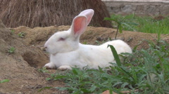 White rabbit lying on the ground. He breathes heavily. hare rests in the pit. Stock Footage