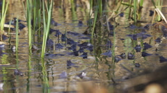 Moor Frogs Mating in the pond 4K, UHD Stock Footage