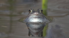 Portrait of a moor frog Stock Footage