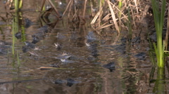 Nice slowmotion shot about Moor Frogs Mating Stock Footage