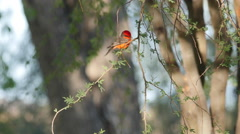 Texas Big Bend Vermilion Flycatcher on leafy branch Stock Footage