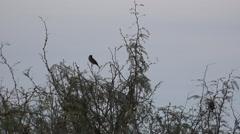 Texas Terlingua birds on shrub Stock Footage