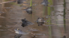 Few Moor Frogs in the pond Stock Footage
