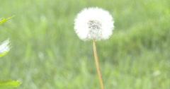 Dandelion Seeds - Green Grass - 4k Stock Footage