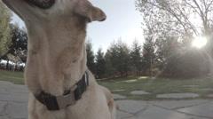 Labrador Retriever dog playing frisbee Stock Footage